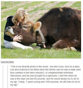 Bull loves woman